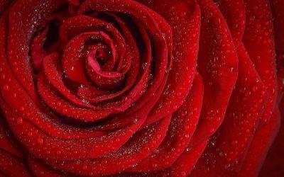 La rose éternelle, un objet de décoration raffiné pour votre intérieur